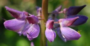 Vielblaettrige Lupine Bluete lila Lupinus polyphyllus 04