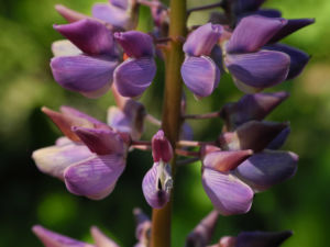Vielblaettrige Lupine Bluete lila Lupinus polyphyllus 05