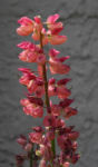 Vielblaettrige Lupine Bluete rot orange Lupinus polyphyllus 01