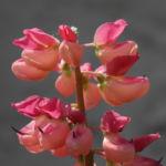 Vielblaettrige Lupine Bluete rot orange Lupinus polyphyllus 04