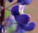 Vielblaettrige Lupine Bluete violett Lupinus polyphyllus 01