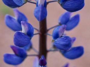 Vielblaettrige Lupine Bluete violett Lupinus polyphyllus 08