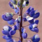 Bild: Vielblättrige Lupine Blüte violett Lupinus polyphyllus