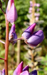 Vielblaettrige Lupinie Blatt gruen Bluete lila Lupinus polyphyllus 03