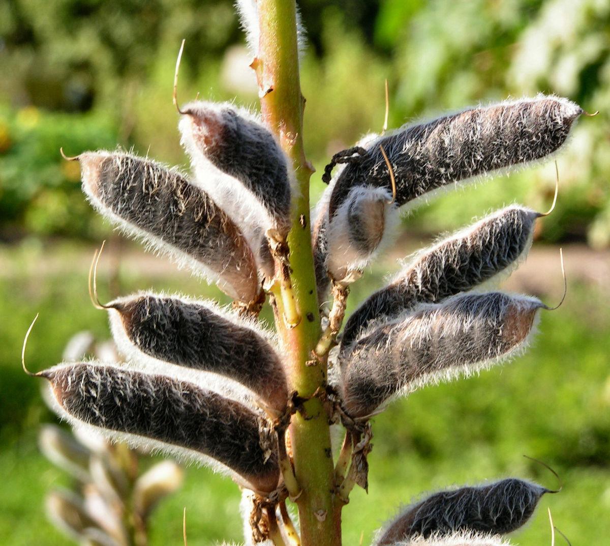 Vielblaettrige Lupinie Blatt gruen Bluete lila Lupinus polyphyllus
