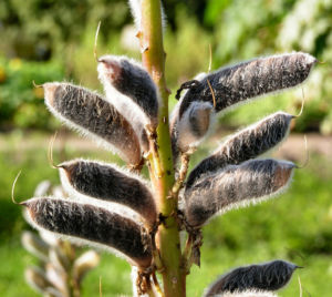 Vielblaettrige Lupinie Blatt gruen Bluete lila Lupinus polyphyllus 06