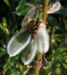 Zurück zum kompletten Bilderset Vielblättrige Lupine Blatt grün Blüte lila Lupinus polyphyllus