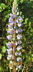 Vielblaettrige Lupinie Blatt gruen Bluete lila Lupinus polyphyllus 09