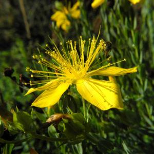 Vielblaettriges Johanniskraut Bluete gelb Hypericum polyphyllum 04