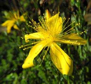 Vielblaettriges Johanniskraut Bluete gelb Hypericum polyphyllum 05