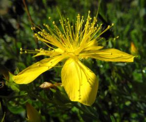 Vielblaettriges Johanniskraut Bluete gelb Hypericum polyphyllum 09