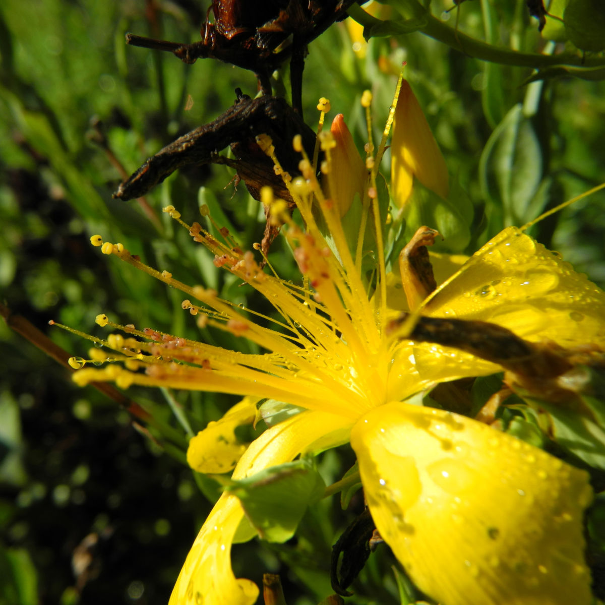 Vielblaettriges Johanniskraut Bluete gelb Hypericum polyphyllum