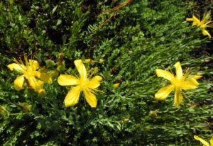 Vielblaettriges Johanniskraut Bluete gelb Hypericum polyphyllum 14