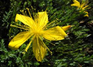 Vielblaettriges Johanniskraut Bluete gelb Hypericum polyphyllum 17