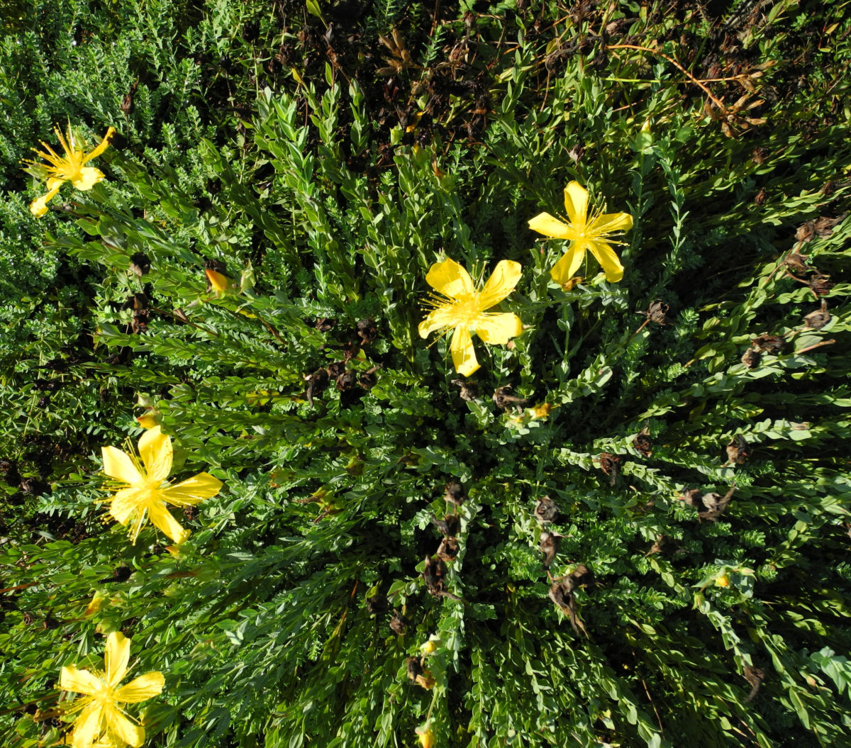 Vielblaettriges Johanniskraut staude Hypericum polyphyllum