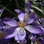 Violetter Safran Crocus neapolitanus 01