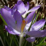 Violetter Safran Crocus neapolitanus 02