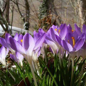 Violetter Safran Crocus neapolitanus 03