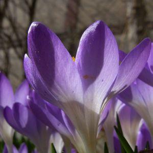 Violetter Safran Crocus neapolitanus 04