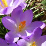 Bild: Frühlings-Krokus Blüte helllila Crocus albiflorus subsp. neapolitanus
