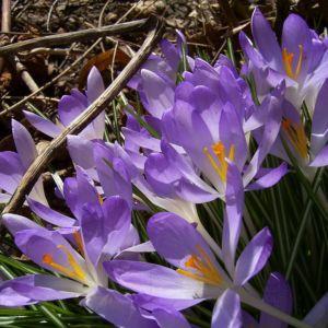 Violetter Safran Crocus neapolitanus 07