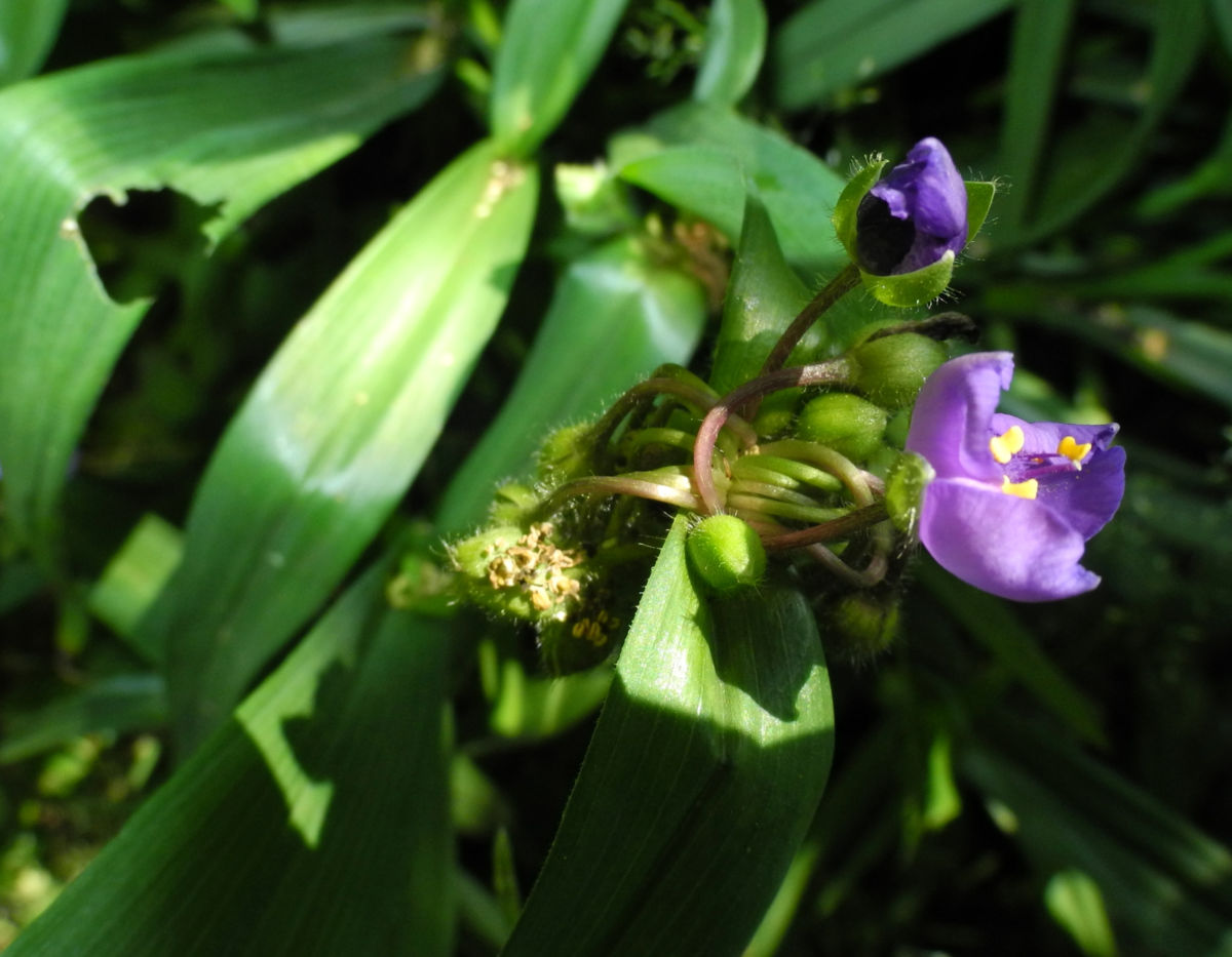 Virginia Dreimasterblume Bluete blau lila Tradescantia virginiana