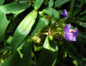 Virginia Dreimasterblume Bluete blau lila Tradescantia virginiana 06