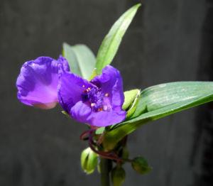 Virginia Dreimasterblume Bluete blau lila Tradescantia virginiana 13
