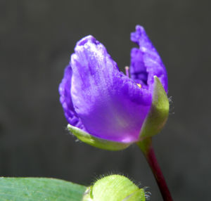 Virginia Dreimasterblume Bluete blau lila Tradescantia virginiana 18