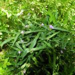 Virginia Dreimasterblume Bluete blau lila Tradescantia virginiana 19