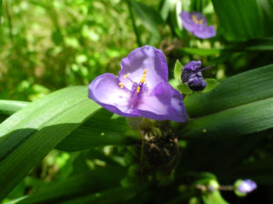 Virginia Dreimasterblume Bluete blau lila Tradescantia virginiana 20