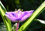 Virginia Dreimasterblume Bluete lila Tradescantia virginiana 01
