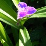 Virginia Dreimasterblume Bluete lila Tradescantia virginiana 05