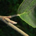 Virginische Zaubernuss Blatt gruen Hamamelis virginiana 13