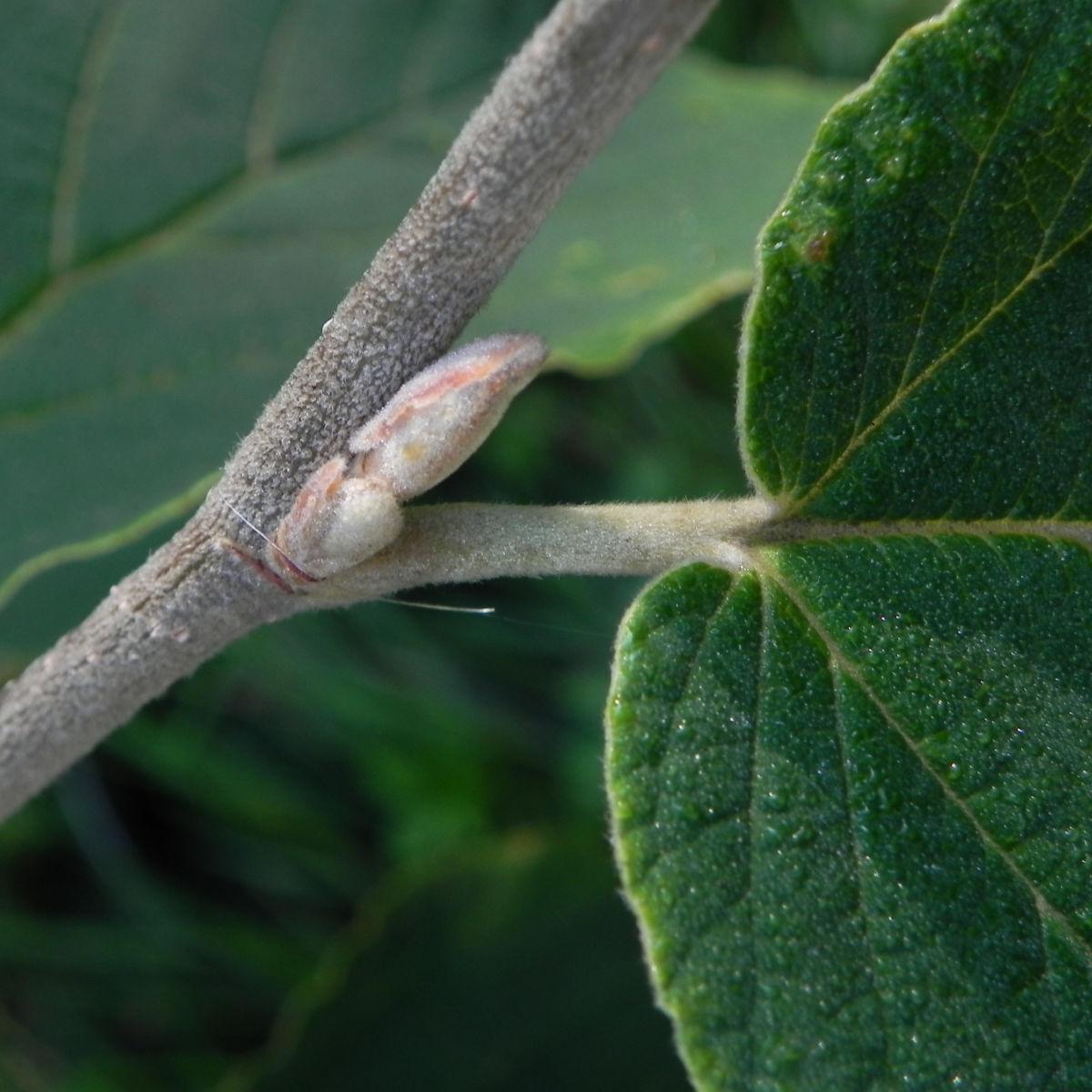 Virginische Zaubernuss Blatt gruen Hamamelis virginiana