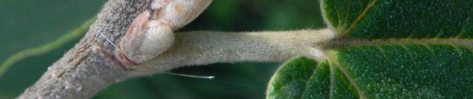 Anklicken um das ganze Bild zu sehen  Virginische Zaubernuss Blatt grün Hamamelis virginiana