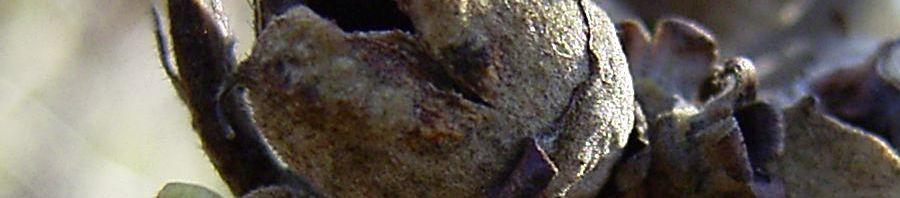 Anklicken um das ganze Bild zu sehen Virginische Zaubernuss Frucht braun Hamamelis virginiana