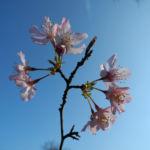 Vogel Kirsche Bluete weiss Prunus avium 01