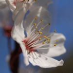 Vogel Kirsche Bluete weiss Prunus avium 02