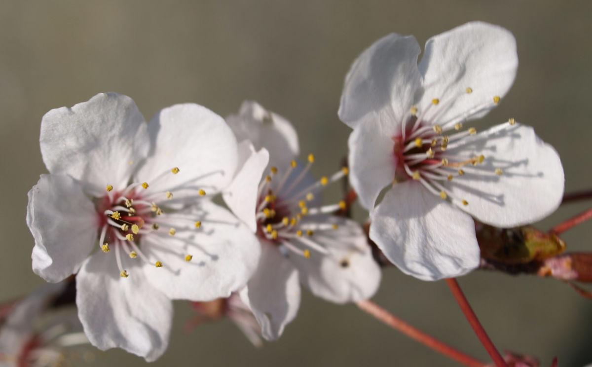 Vogel Kirsche Bluete weiss Prunus avium
