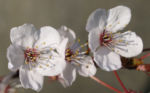 Vogel Kirsche Bluete weiss Prunus avium 05