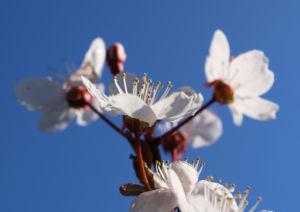 Vogel Kirsche Bluete weiss Prunus avium 09