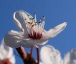 Vogel Kirsche Bluete weiss Prunus avium 10