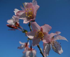 Vogel Kirsche Bluete weiss Prunus avium 11