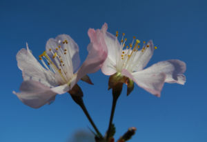 Vogel Kirsche Bluete weiss Prunus avium 12
