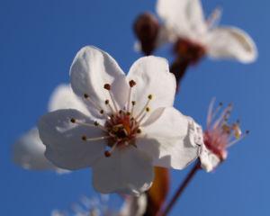 Vogel Kirsche Bluete weiss Prunus avium 13