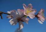 Vogel Kirsche Bluete weiss Prunus avium 14