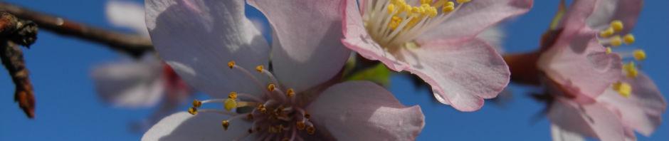 vogel-kirsche-bluete-weiss-prunus-avium