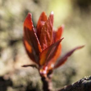 Vogel Kirsche Knospe roetlich Prunus avium 14