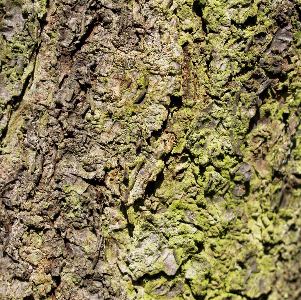 Vogel Kirsche Rinde braeunlich Prunus avium